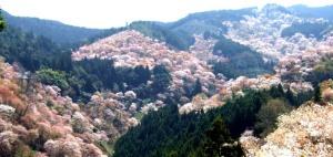 246:吉野の桜