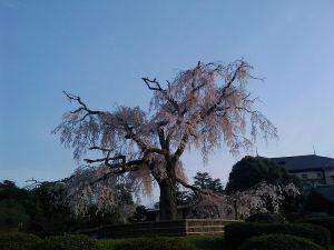 279:枝垂桜