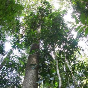 9:樹木セランガンバツ