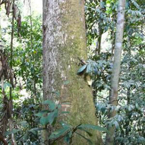 9:樹木セランガンバツ②