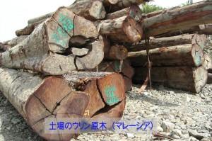 11:ウリンの原木