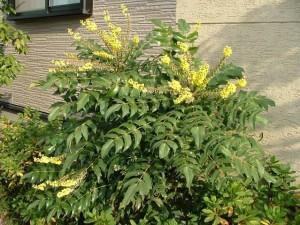 45:ヒイラギナンテン樹形